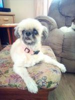 Sanshu Puppies for sale in 5875 Snowville Brent Rd, Dora, AL 35062, USA. price: NA