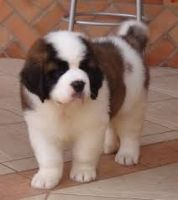 Santal Hound Puppies for sale in Charlotte, NC, USA. price: NA