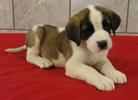 Santal Hound Puppies for sale in Anchorville, MI 48023, USA. price: NA