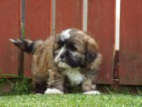 Santal Hound Puppies for sale in Jacksonville, FL, USA. price: NA