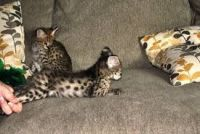 Savannah Cats for sale in Columbus, OH 43085, USA. price: NA