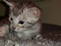 Savannah Cats for sale in Dallas Township, PA, USA. price: NA