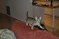 Savannah Cats for sale in Orlando, FL 32801, USA. price: NA