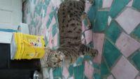 Savannah Cats for sale in Burlington, NC, USA. price: NA