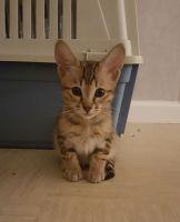 Savannah Cats for sale in Peachtree Rd NE, Atlanta, GA, USA. price: NA