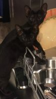 Savannah Cats for sale in Hanahan, SC, USA. price: NA
