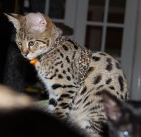 Savannah Cats for sale in Oregon City, OR 97045, USA. price: NA
