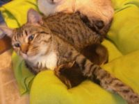 Savannah Cats for sale in Cloverdale, IN 46120, USA. price: NA