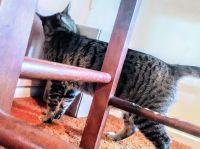 Savannah Cats for sale in Huntington Beach, CA, USA. price: NA