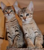 Savannah Cats for sale in 500 SE Holliday Place, Topeka, KS 66607, USA. price: NA