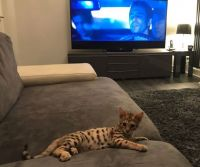 Savannah Cats for sale in Colorado Springs, CO, USA. price: NA