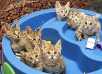 Savannah Cats for sale in Dallas, TX 75270, USA. price: NA