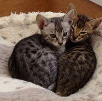 Savannah Cats for sale in Oklahoma City, OK, USA. price: NA