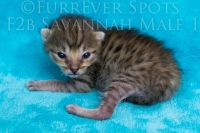 Savannah Cats for sale in Loris, SC 29569, USA. price: NA