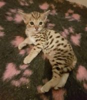 Savannah Cats for sale in Jacksonville Beach, FL, USA. price: NA