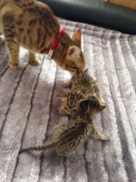 Savannah Cats for sale in Spartanburg School District 03, SC, USA. price: NA