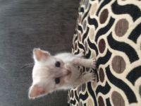 Savannah Cats for sale in Sun City, Menifee, CA, USA. price: NA
