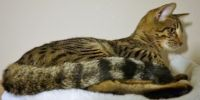 Savannah Cats for sale in Pennsylvania Turnpike, Pennsylvania, USA. price: NA