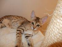 Savannah Cats for sale in Phoenix, AZ, USA. price: NA
