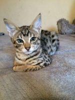 Savannah Cats for sale in California Ave, Santa Monica, CA 90403, USA. price: NA