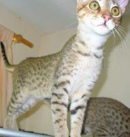 Savannah Cats for sale in Louisiana, Livonia, MI 48150, USA. price: NA