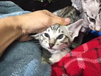 Savannah Cats for sale in Albuquerque, NM 87101, USA. price: NA