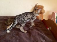 Savannah Cats for sale in PA-18, Albion, PA, USA. price: NA