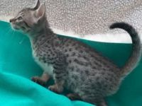 Savannah Cats for sale in FL-436, Casselberry, FL, USA. price: NA