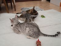 Savannah Cats for sale in Indianapolis, IN, USA. price: NA