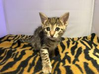 Savannah Cats for sale in Los Angeles, CA, USA. price: NA