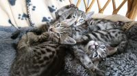 Savannah Cats for sale in Springfield, IL, USA. price: NA