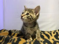Savannah Cats for sale in Detroit, MI, USA. price: NA