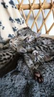 Savannah Cats for sale in St Paul, MN, USA. price: NA