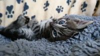 Savannah Cats for sale in Olympia, WA, USA. price: NA