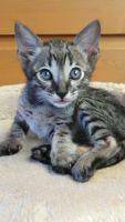 Savannah Cats for sale in Philadelphia County, PA, USA. price: NA