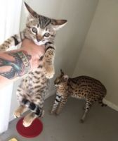 Savannah Cats for sale in Abilene, Houston, TX 77020, USA. price: NA