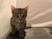 Savannah Cats for sale in Erie, PA, USA. price: NA