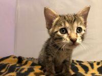 Savannah Cats for sale in Sacramento, CA, USA. price: NA