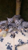 Savannah Cats for sale in Bronx, NY, USA. price: NA