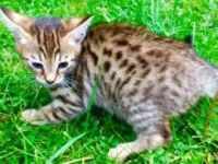 Savannah Cats for sale in Atlanta, GA, USA. price: NA