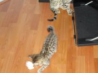 Savannah Cats for sale in Fort Lauderdale, FL, USA. price: NA