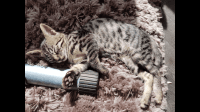 Savannah Cats for sale in California, MD, USA. price: NA
