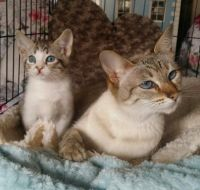 Savannah Cats for sale in Mt Pleasant Mills, PA 17853, USA. price: NA