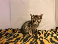 Savannah Cats for sale in Cincinnati, OH, USA. price: NA
