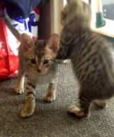 Savannah Cats for sale in Green Cove Springs, FL 32043, USA. price: NA