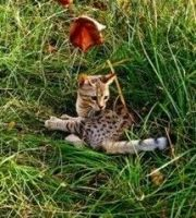 Savannah Cats for sale in Omar Ave, Carteret, NJ 07008, USA. price: NA
