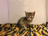 Savannah Cats for sale in Beverly Hills, CA 90210, USA. price: NA