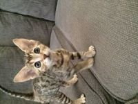Savannah Cats for sale in Temple City, CA, USA. price: NA