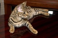 Savannah Cats for sale in Florida City, FL, USA. price: NA
