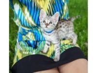 Savannah Cats for sale in Virginia Beach, VA, USA. price: NA